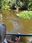 Gator near swamp boat