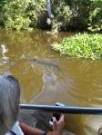 Gator near swamp boat